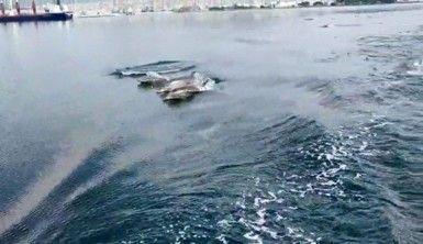 Sevimli yunuslar deniz yüzeyi temizleme aracıyla yarıştı