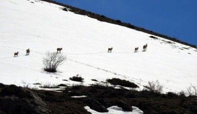 Koruma altındaki dağ keçileri Munzur Dağı'nda görüntülendi