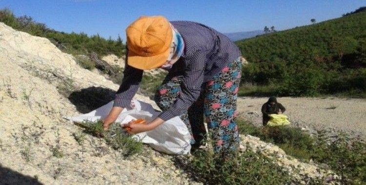 Korona salgını dağ kekiğine ilgiyi artırdı