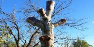 Kaliteli ürün için ağaçlar aşılanıyor