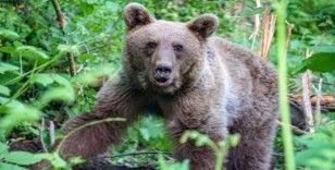(Özel) Uludağ'da kapana yakalanan ayı böyle kurtarıldı