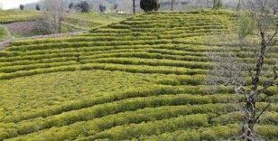 Rizeli yaş çay üreticileri yaş çay taban fiyatını beğendi