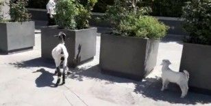 (Özel) İstanbul'un göbeğinde keçi ve kuzusunu otlattı