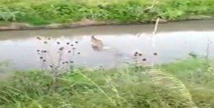 Köylülerin kamerasına takıldı: Karaca köye indi
