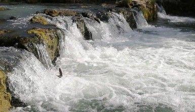 Dünyada sadece Van Gölü'nde yaşıyorlar, uçan balıkların göçü başladı