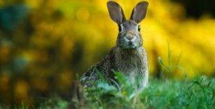 ABD'de tavşanları etkileyen yeni ölümcül salgın uyarısı