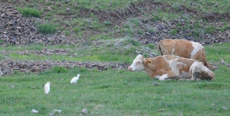 Kars'ta sığır balıkçılı görüldü