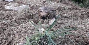 Sulama kanalından çıkan kurt yavruları şaşkınlık yaşattı