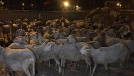 Otomobil sürüye çarptı, 2 koyun telef oldu