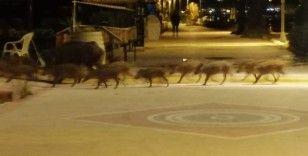 Marmaris'te domuzlar sahile indi, yiyecek aradı