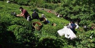 Ordulu fındık üreticileri imece usulü çay hasadına başladı