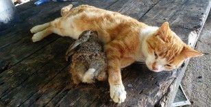 Kedi tavşan yavrusuna annelik yapıyor