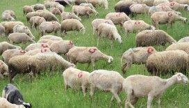 300 koyununa tek tek ay yıldız çizdi