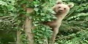 Ağaca tırmanan ayı, objektife adeta poz verdi