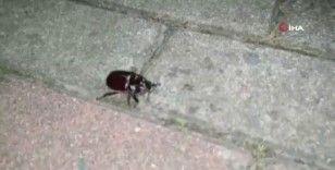 Gençlerin 1 dolarlık gergedan böceği şoku