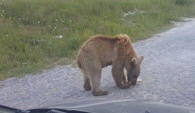 Kardeş boz ayılar sayesinde Nemrut'un ziyaretçileri arttı
