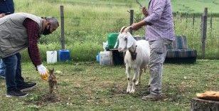Yavru karaca, kendisini emziren keçiyi annesi olarak benimsedi