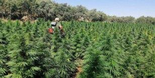 Bingöl'de uyuşturucu tarlalarına operasyon, 1 milyon kök kenevir ele geçirildi