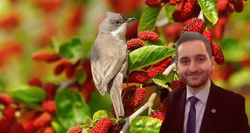 Olgunlaşınca dutlar, mutlu olur kuşlar!