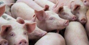 Yeni domuz gribi: Pandemiye dönüşebilir