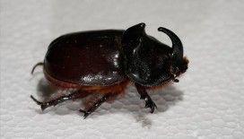 Gergedan böceğini toplayanlara 73 bin 747 lira ceza