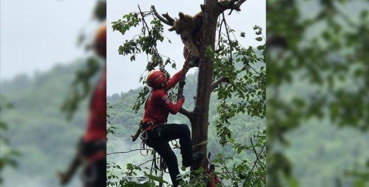 Rize'de çıktığı ağaçta mahsur kalan ayı AKUT ekiplerince kurtarıldı