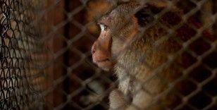 Maymunların, uğruna 'makine gibi' çalıştırıldığı hindistan cevizi yağı ve sütü gibi ürünler raflardan iniyor