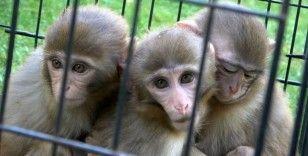 Down sendromlu yavru maymuna kardeşleri bakıyor