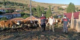 Arazide kaybettiği kurbanlık hayvanlarını jandarma buldu