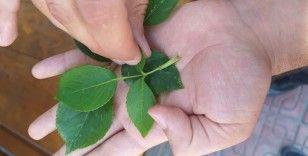 Kastamonu'da 3 bin yılda bir açtığına inanılan 'udumbara çiçeği' görüldü