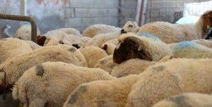 Kurbanlık seçerken hayvanın sağlığına ve koronavirüs tedbirlerine dikkat edilmesi uyarısı