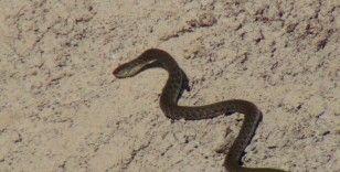 Sulama kanalında yılan paniği