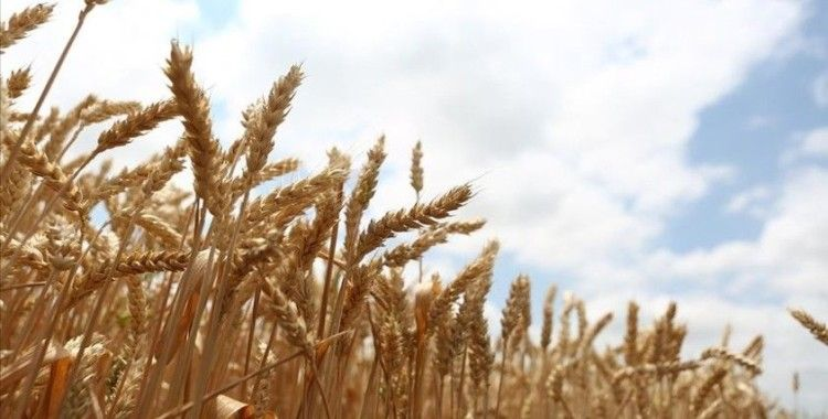 Milli tohum 'Hüseyinbey' ile buğday verim rekoru kırıldı