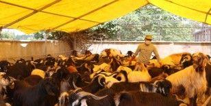 Kurban pazarında keçiye talep arttı