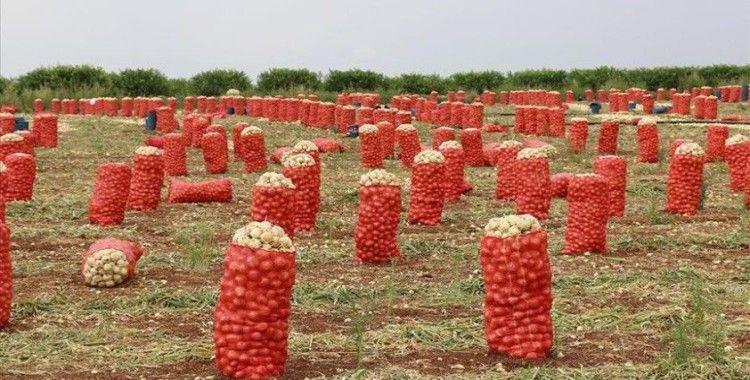 Soğan ve patateste hasat verimli geçti, ihracat serbest bırakıldı