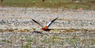 Angut kuşları Erzurum'da görüntülendi