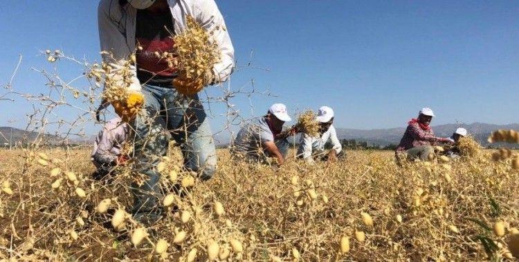 İhtiyaç sahipleri için ekilen nohutta hasat yapıldı