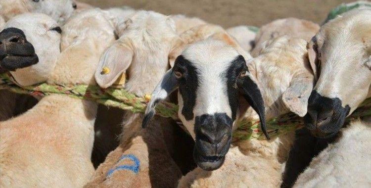 Doğu'nun hayvancılık merkezlerinde Kurban Bayramı yoğunluğu