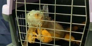 Üsküdar'da 125 santim uzunluğunda İguana bulundu
