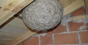 Yaban arılarının çatı arasına yaptıkları dev yuva şaşırttı