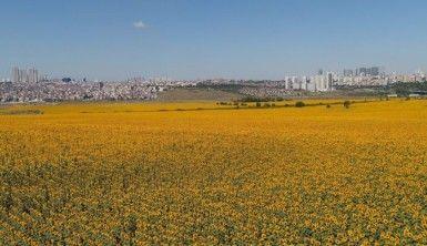 Şehrin göbeğindeki devasa ayçiçeği tarlaları havadan görüntülendi