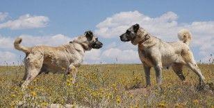 Kangal köpeklerine çipli takip geliyor