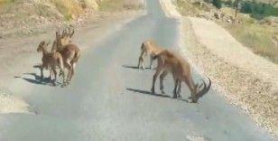 Tuz için yola inen dağ keçileri görüntülendi, yetkililer uyardı
