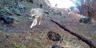 Bayburt'ta kurt sürüsü görüntülendi