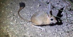 Amasya'da 'Arap tavşanı' görüntülendi