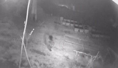 Aç gözlü ayı güvenlik kamerasına yakalandı