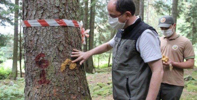 Doğu Karadeniz Ormanları yaklaşık 3 milyon 'terminatör böcek'le korunuyor