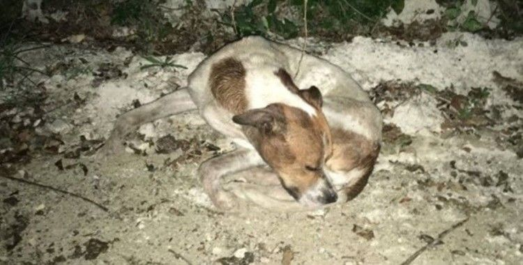 Uyuşturdukları köpekleri ormanlık alanda kaderlerine terk ettiler