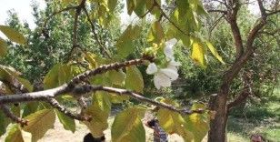 Eylül'de çiçek açan kiraz ağacı şaşırttı