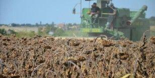 Bafra Ovası'nda ayçiçeği hasadı başladı